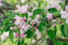 Blossoming garden in spring day, flowers of apple tree. Nature Awakening Concept stock photo