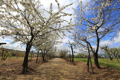 Blossoming garden in the spring. Walk on a blossoming garden in the spring Stock Photo
