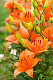 Blossoming garden yellow orange lilies Royalty Free Stock Images