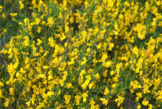 The blossoming genista Spanish (Spanish broom) (Spartium junceum Royalty Free Stock Photos