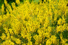The blossoming genista tinctorial (a genista blood-thirsty) (Genista tinctoria L.) Stock Photography