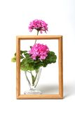 Blossoming geranium Stock Images