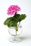 Blossoming geranium Stock Photos
