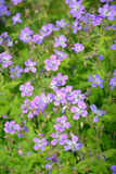 The blossoming geranium forest (Geranium sylvaticum L.) Stock Photos