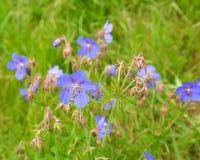 The blossoming geranium meadow (Geranium pratense L.) Royalty Free Stock Photos