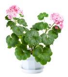 Blossoming geranium in pot stock photos