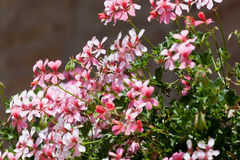 Blossoming geranium Royalty Free Stock Image