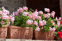Blossoming geranium. Shined with the summer sun stock photo