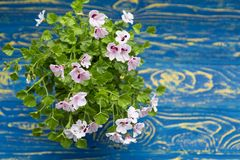 Blossoming geranium on a wooden background. Shabby Chic royalty free stock photos