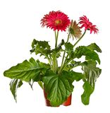 Blossoming gerbera in  flowerpot isolated on a white background. Blossoming gerbera in a flowerpot isolated on a white background Stock Photo