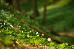 Blossoming glade of flowers in green spring forest in sunlight Stock Photos