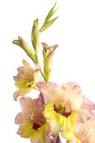Blossoming gladiolus Royalty Free Stock Images