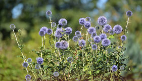 The blossoming globe thistle Banat (Echinops bannaticus Rochel e Stock Photography