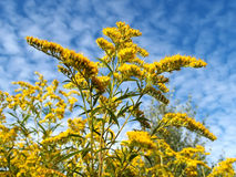 Blossoming golden rod Canadian against the sky.  stock images