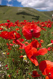 THE BLOSSOMING OF GRAND PLANE OF CASTELLUCCIO DI NORCIA Royalty Free Stock Photography