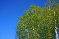blossoming green birch Stock Images