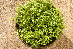 Blossoming cress sprouts Stock Image