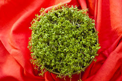 Blossoming cress sprouts Royalty Free Stock Images
