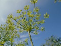 Blossoming dill on the sky background Royalty Free Stock Photos