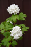 The blossoming guelder-rose of Buldenezh - the Snow sphere Viburnum L. against a dark background Stock Image