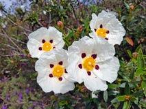 Blossoming gum rock rose - cistus ladanifer in the heath fields stock photos