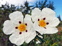 Blossoming gum rock rose - cistus ladanifer in Portugal Royalty Free Stock Photography