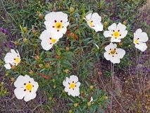 Blossoming gum rock rose - cistus ladanifer in Portugal Stock Images