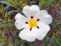 Blossoming gum rock rose - cistus ladanifer in the heath fields Royalty Free Stock Images