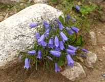 The blossoming hand bell changeable Campanula polymorpha Witasek among stones.  Royalty Free Stock Photography