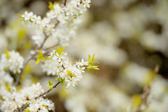 Blossoming hawthorn bushes Stock Photo