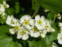 Blossoming hawthorn or maythorn or Crataegus flowers close-up, selective focus, shallow DOF.  Stock Photography