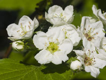 Blossoming hawthorn or maythorn, Crataegus, flowers close-up, selective focus, shallow DOF Royalty Free Stock Photo
