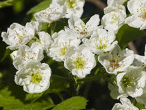 Blossoming hawthorn or maythorn, Crataegus, flowers close-up, selective focus, shallow DOF Stock Images