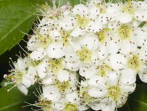Blossoming hawthorn or maythorn, Crataegus, flowers close-up, selective focus, shallow DOF Stock Photo