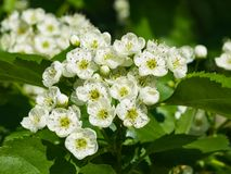 Blossoming hawthorn or maythorn or Crataegus flowers close-up, selective focus, shallow DOF.  Royalty Free Stock Image