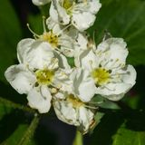 Blossoming hawthorn or maythorn or Crataegus flowers close-up, selective focus, shallow DOF.  Royalty Free Stock Images