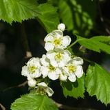 Blossoming hawthorn or maythorn or Crataegus flowers close-up, selective focus, shallow DOF.  Royalty Free Stock Photo