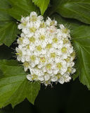 Blossoming hawthorn or maythorn, Crataegus, flowers and leaves close-up, selective focus, shallow DOF Royalty Free Stock Photos