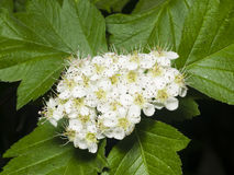 Blossoming hawthorn or maythorn, Crataegus, flowers and leaves close-up, selective focus, shallow DOF Stock Image