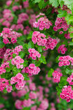 Blossoming hawthorn Royalty Free Stock Images