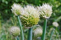 Blossoming heads of the edible onion Royalty Free Stock Photo