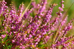 Blossoming heather in the summer Stock Images