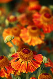 Blossoming helenium. Stock Images