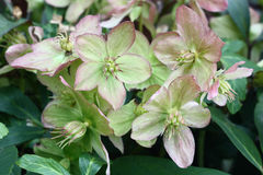 Blossoming helleborus. Petals fading helleborus have unusual green-pink colour Royalty Free Stock Photography