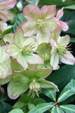 Blossoming helleborus on a vertical. Petals fading helleborus have unusual green-pink colour Stock Photo
