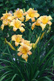 Blossoming hemerocallis. Stock Image