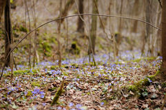 Blossoming hepatica flower in early spring Royalty Free Stock Photos