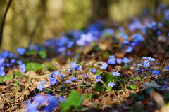 Blossoming hepatica flower in early spring Stock Photos