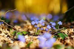 Blossoming hepatica flower in early spring in forest. Beauty in nature stock images
