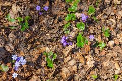 Blossoming hepatica flower on the ground Stock Images